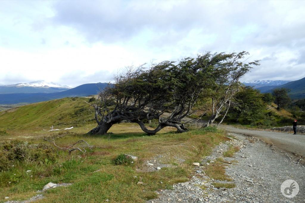 """Mas as árvores que nascem """"de cara pro vento"""" crescem desse jeito. Não é exagero dizer que o vento patagônico é capaz de derrubar (ou nesse caso, entortar)."""