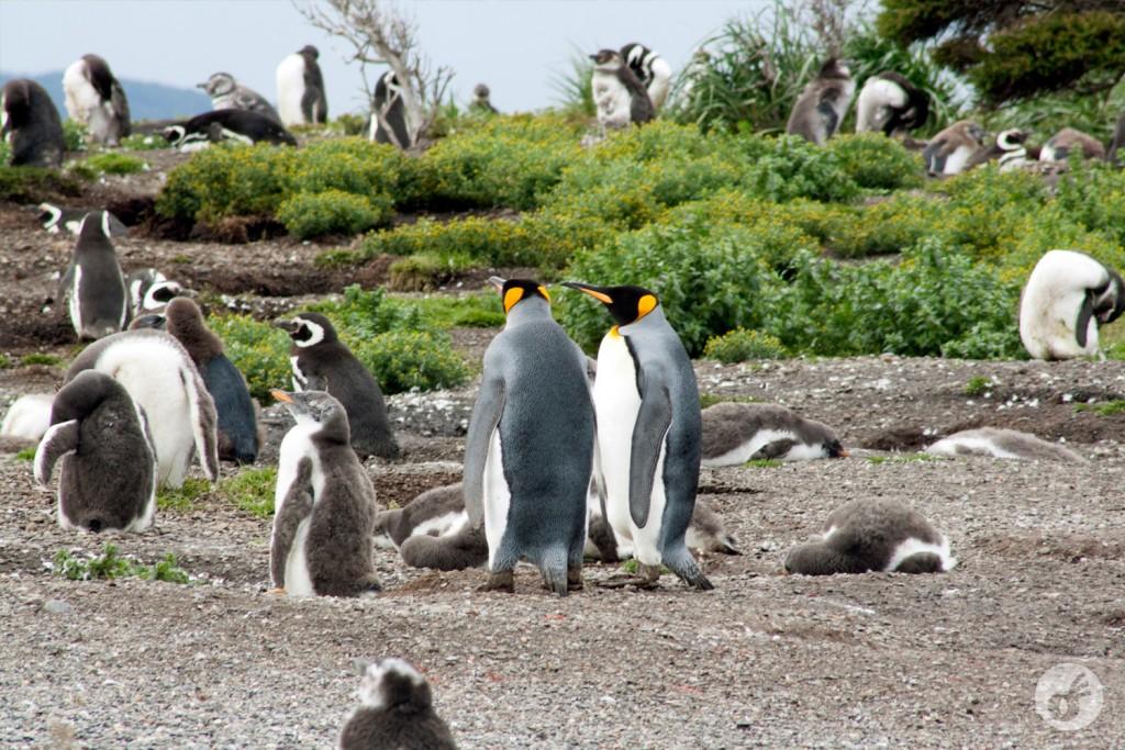 No meio do caminho, um casal de pinguins imperadores, que estava de passagem pela ilha.