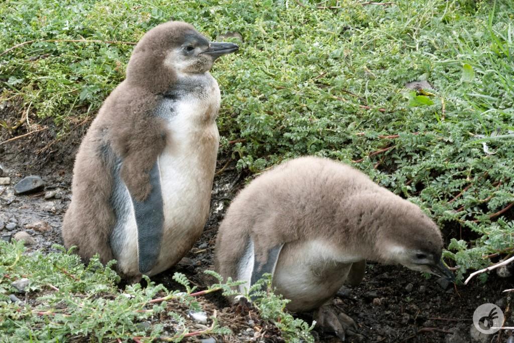 Pinguins enquanto crianças, e seus casaquinhos...