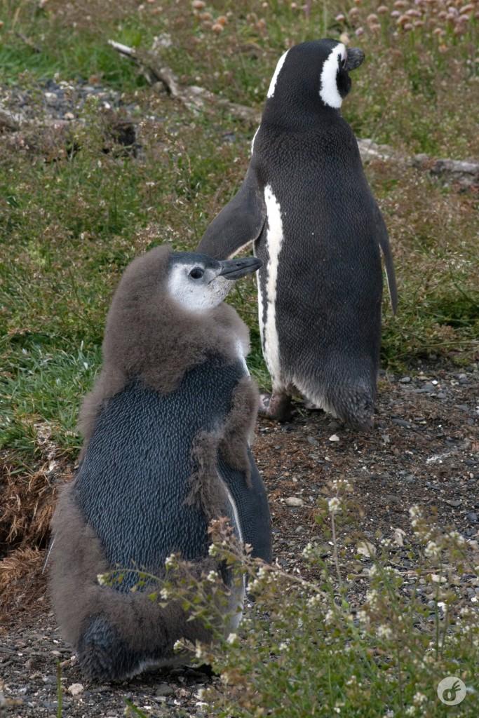 """...que, com o tempo, vão dando lugar ao """"pinguim com cara de pinguim""""."""